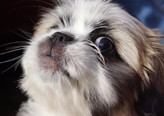 Ella thinking i wish she would go away with that camera (Kerry711) Tags: old puppy eyes sony young 11 alpha weeks lhasa a77 apso
