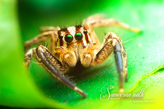 Green! (Sameeran_Nath) Tags: india macro green nature canon 50mm spider jumping wildlife reverse f11 nath salticidae 600d sameeran 430exii