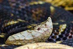 Close snake portrait (Tambako the Jaguar) Tags: black macro eye switzerland nikon close head reptile snake gray zrich d800 sharpnosedviper