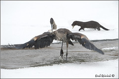 plenty for everyone.. (Earl Reinink) Tags: blue winter fish snow ontario canada art ice heron nature water photography nikon flickr photographer image images fisher earl flikr d4 art nikon great photography images birds nature lens ontario canada ontbirds fine earl photographer lenses heron niagara reinink reinink d4 niagara 201302240194