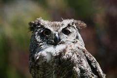 Eurasian Eagle Owl (AndersHolvickThomas) Tags: sf bird 20d canon eos zoo san francisco eagle owl eurasian thewonderfulworldofbirds