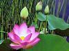 Lotus Blossom (Eddie C3) Tags: nyc newyorkcity flowers lotus bronx newyorkbotanicalgarden sacredlotus nelumbonucifera enidahauptconservatory