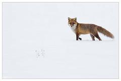 Renard roux (Vulpes vulpes) (Denis.R) Tags: red france wildlife 300mm fox lorraine libre moselle redfox sauvage vulpesvulpes renard renardroux affût billebaude denisr 5dmarkiii denisrebadj