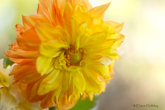 Yellow Dahlia (loobyloo55) Tags: dahlia flowers flower yellow canon