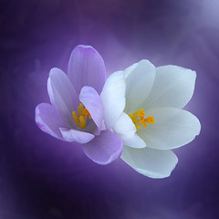 CIMG1890 illusions (pinktigger) Tags: white flower nature spring purple violet crocus