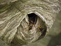20120801_3 Wasp nest (allegedly of median wasp, Dolichovespula media) hanging under a rock | Southern Norway | Right-click for more size options (ratexla) Tags: life summer favorite cute nature beautiful animal animals norway bug paper insect grey norge cool europe wasp hole earth wildlife gray insects bugs maybe scandinavia wasps biology insekt animalplanet scandinavian 2012 invertebrate invertebrates zoology papery tellus djur organism nonhumananimals insekter getingbo dolichovespulamedia medianwasp europaeuropean almostanything nonhumananimal unlimitedphotos ryggradslsadjur photophotospicturepicturesimageimagesfotofotonbildbilder notintheeternityset canonpowershotsx40hs 1aug2012 ratexlasnorwaytrip2012