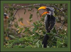 Banana beak! (Rainbirder) Tags: kenya tsavoeast easternyellowbilledhornbill tockusflavirostris rainbirder