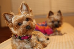 IMG_0032 (ImaMountainGirl) Tags: yorkie canon tank mark yorkshire iii scout terrier 5d