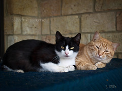 Vixen and Shorty... (Betty Gillis) Tags: cats vixen shorty kittys