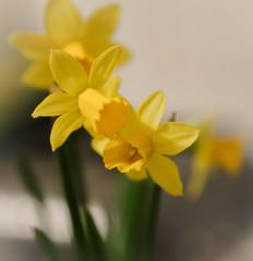 DSC03989-1 (kazpal) Tags: flowers 50mm daffodil mothersday sonyemount sonynex5n lghtroom43