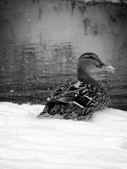 Stockente (SabineausL) Tags: winter blackandwhite white black nature animal lumix mono blackwhite wasser natur leipzig panasonic urbannature ente tier vogel plagwitz stockente 2013 blackwhitephotos karlheinekanal leipzigplagwitz naturemasterclass dmctz4 panasonicdmctz4 sabineausl