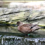 BLUE WINGED TEAL thumbnail