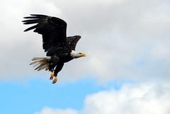 Bald Eagle, Mid Flight (Funkomaticphototron) Tags: sky clouds fly wings eagle flight baldeagle feathers raptor avian talons burd magestic coryfunk