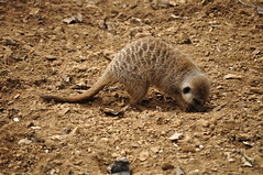 Chester Zoo (83) (rs1979) Tags: zoo meerkat chester meerkats chesterzoo