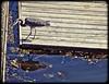 Happy Spring! (A Great Capture) Tags: ocean trip travel blue sea vacation bird heron vancouver island dock bc harbour britishcolumbia great victoria vancouverisland westcoast ald ash2276 ashleyduffus ashleylduffus wwwashleysphotoscom