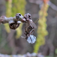 Dance Flies mating (K Schneider) Tags: dance flies mating diptera empididae rhamphomyia