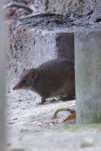 Antechinus sp.