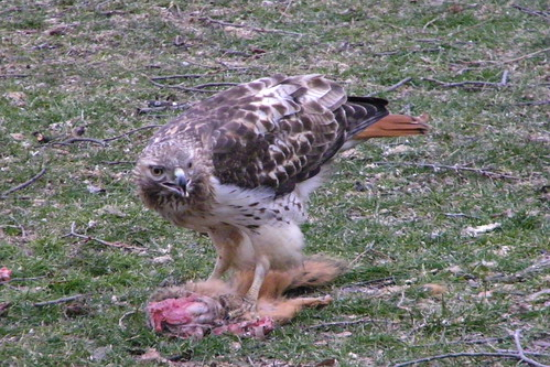 287/365/1748 (March 25, 2013) - Red-Tailed Hawk Enjoying Breakfast at the University of Michigan, Ann Arbor (March 25, 2013)