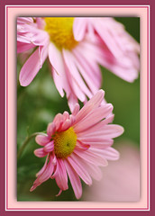 Shy Beauty (bigbrowneyez) Tags: pink flowers nature beauty petals dof sweet bokeh softness smooth natura shy frame dreamy layers colourful fiori delicate belli chrysanthemum delightful appealing bellissimi shybeauty rememberthatmomentlevel1