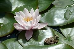 L1230538 (BS-Foto) Tags: leica vlux1 bsfoto waterlilly water lilly seerose frog frosch garten teich pond reinhartshausen garden leicavlux1 leicavlux vlux leicacompactcameras