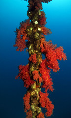 SOFT CORAL CHAIN (Niall Deiraniya Underwater Photography) Tags: red sea fish coral dangerous marine ray seahorse turtle crab shrimp sealife perch octopus mandarin nudibranch anenome manta moray grouper venom pygmy pipefish reasea