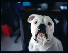 (MAC81688) Tags: dog pet pets mamiya film mediumformat puppy photography 645 kodak bulldog slidefilm e100vs petportrait mamiya645afd nomorefightingcatsok