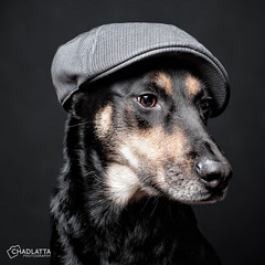 Kayce's new hat! (chad.latta) Tags: portrait dog chien hat fun chad shepherd flash hipster perro strobe latta kayce