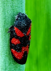 Bloedcicade - Black-and - Red - Froghopper -Cercopsis vulnerata (By Yves) Tags: macro 100mm cicade froghopper