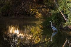 Great Blue Heron: Hunting and waiting... (jcldigitalstudio.com) Tags: blue sunset plant blur green bird heron water beauty flora colorful natural bokeh great smooth ripples dim striking fawna