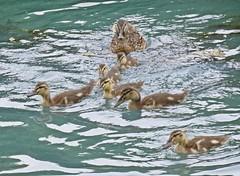The Renfrew 6 (Bricheno) Tags: renfrew bricheno mallard mallards duck ducks ducklings pond park robertsonpark scotland escocia schottland cosse scozia esccia szkocja scoia