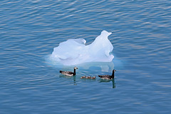 "Swimming with the ""iceberg"" (_Martl_) Tags: canon eos 70d iceland island jkulsrln ice iceberg water blue outdoor ducks enten birds vgel nature natur wildlife"
