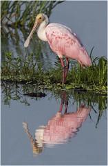 Roseate Reflection (billkominsky ) Tags: naturethroughthelens