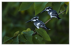 Pied Kingfishers - Ceryle Rudis (Crested Aperture Photography) Tags: cerylerudis piedkingfisher whitenile rivernile river uganda oiseaux bird birds aves crestedaperturephotography crestedaperture greatnature animalplanet uccello uccelli pssaro pssaros   martinpescatore