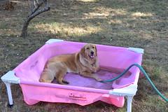 DSC_0145 (ghoulia) Tags: goldendoodle goldenretriever poodle labradoodle labrador rovercom dogvacay