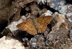 Darkened' Yellow-haired Skipper------ Cogia cajeta ssp. eluina (creaturesnapper) Tags: lepidoptera butterflies borinquenmountainresort rincondelavieja costarica hesperiidae skippers darkenedyellowhairedskipper cogiacajetasspeluina