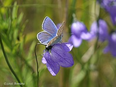 Blue ( Annieta  - back home but need time:)) Tags: annieta juli 2016 sony a6000 holiday vakantie vacances noorwegen norway norvge vlinder butterfly papillon blauw bleu blue allrightsreserved usingthispicturewithoutpermissionisillegal