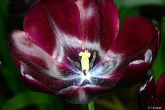 Tulip (Tulipa Hybrid) (HGHjim) Tags: tulip tulipahybrid flower red tulips gardenhybrid tulipa