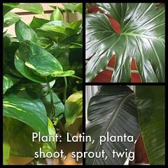 Plant: Latin, planta, shoot, sprout, twig (Thomas Talboy) Tags: ifttt instagram latin language plant shoot sprout twig