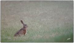 lievre (boullard_a) Tags: lievre hare sauvage wild brouillard fog