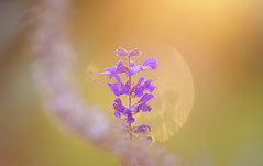 Evening glow (static_dynamic) Tags: flower light sunsetglow evening violet bokeh bloom