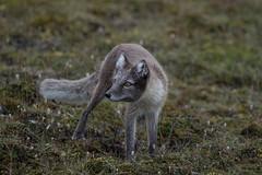 Arctic Fox at Bjrndalen S24A0756 (grebberg) Tags: bjrndalen spitsbergen svalbard july 2016 arcticfox vulpeslagopus fox vulpes