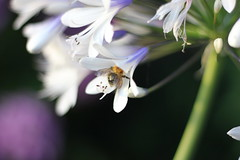 IMG_4120_Honey Bee (Julecu) Tags: agapanthus flower flowers queenmum africanlily nature garden summer august