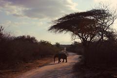 Africa (alina gnerre) Tags: africa southafrica kruger moditlo lodge safari elefante baby savana bush