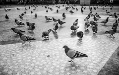 Doves (Daniel Zwierzchowski) Tags: dove doves birds barcelona spain catalunya placa espana black white blackandwhite bnw monument blackwhite canon t2i rebel eos550d 550d 1022mm