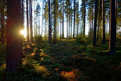 Bye bye blueberry forest (brittajohansson) Tags: landscape forest woods serene trees pine spruce blueberry berries plants outdoor glow evening sunset