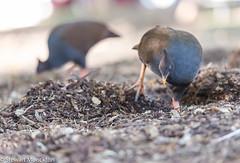 Orange-footed Scrubfowl (Stewart M) Tags: 2016 bird cent centennialgardens darwin lameroobeach nt northernterritory orangefootedscrubfowl