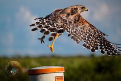 Leaping into the sea of air (Glotzsee) Tags: nature florida okeechobeecounty wildlife outdoors bird birds hawk redshoulderedhawk park statepark kissimmeeprairiepreservestatepark glotzsee glotzseefloridaimages