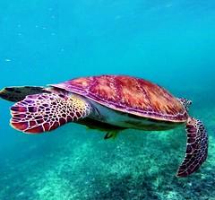 Who said that turtles are slow? They can reach 27 km / h to 35 km / h swimming in the sea.    /  Quin dijo que las tortugas son lentas? Pueden alcanzar 27 km/h a 35 km/h nadando en el mar.       #GoPro #GoProMx #GoProTravel #PhotoOfTheDA (abrahammojica1) Tags: rivieramaya lovetogopro me cancun quintanaroo gopromx fotodelda mxico mochileromx goprolife travel gaviota goprohero gopromoff gopole mxicodesconocido goprotravel inspiredbyyou beahero beach gopro ab visitmexico picoftheday instagood photooftheday