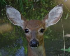 White Tail Deer Portrait (Imagination04) Tags: reedturner reed turner woodland preserve long grove il illinois white tail deer hdpentaxda1685mmf3556eddcwr pentaxda1685mm pentax1685mm da wr