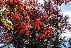 Red swirl (MSC_Photography) Tags: garten garden bokeh nikon d5100 d200 mf nikkor 28mm f35 ai wide open manual bier beer prunus cerasifera swirly